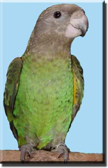 Коричневоголовый или буроголовый попугай