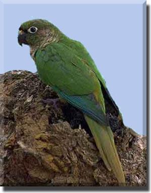 Коричневоухий пиррура или буроухий попугай