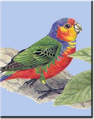 Род Дятловые попугаи (Micropsitta)