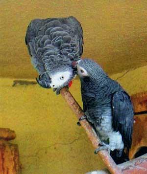 знакомство самца с самкой попугаи