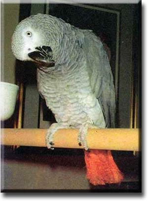 Как ухаживать за попугаем жако