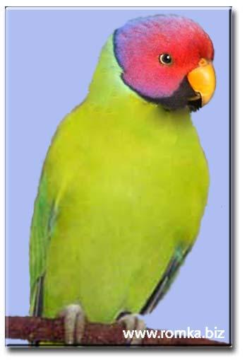 Сливоголовый попугай (самец)