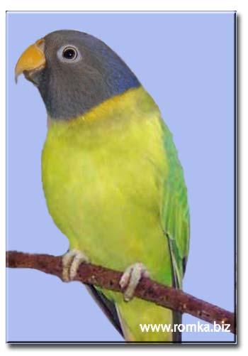 Сливоголовый попугай (самка)