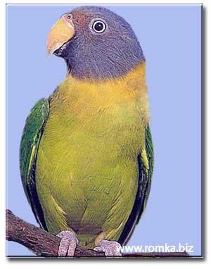 Розовоголовый попугай