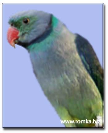 Голубиный попугай