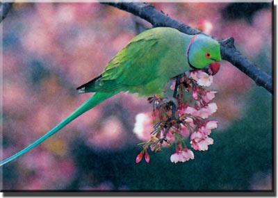 Индийский подвид ожерелового попугая Крамера