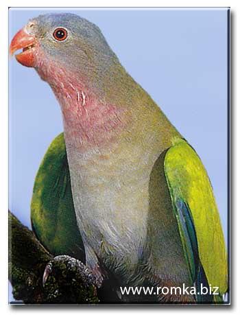 Попугай Александрины (голубошапочный)