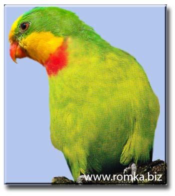 Роскошный барабандов или щитовидный попугай
