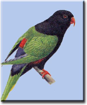 Попугай Стеллы (черноголовая форма)