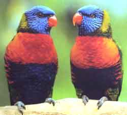 Многоцветный или горный лорикет