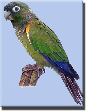 Попугаи: говорящие, клетки, фото, виды попугаев