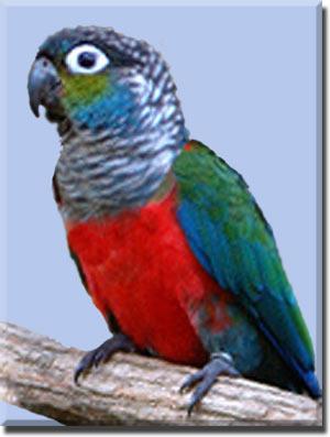 Пирруровый попугай (жемчужный)