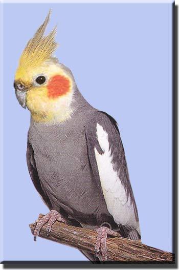 Корелла или попугай-нимфа