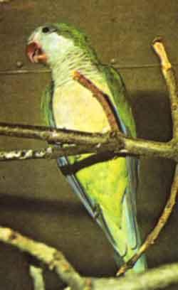 Попугай-монах или калита