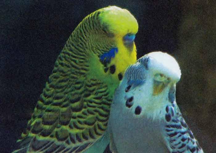 Волнистый попугайчик (Melopsittacus), фото 4.