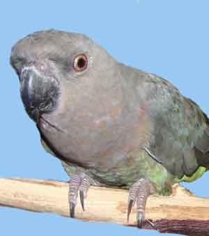 Эфиопский или красногрудый попугай