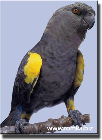 Попугай Руппеля