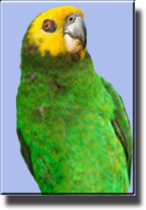 Желтощекий или желтолицый попугай