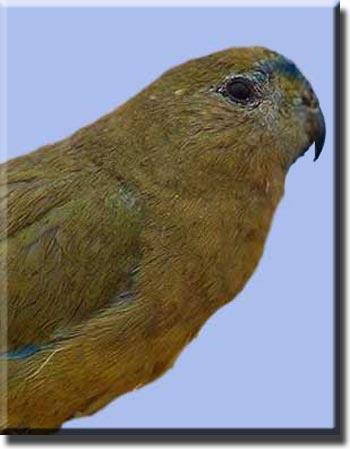 Скальный попугайчик
