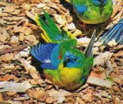 Лазурный травяной попугайчик