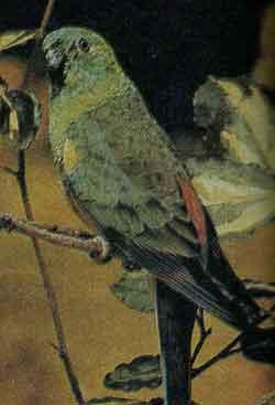 Травяной попугайчик