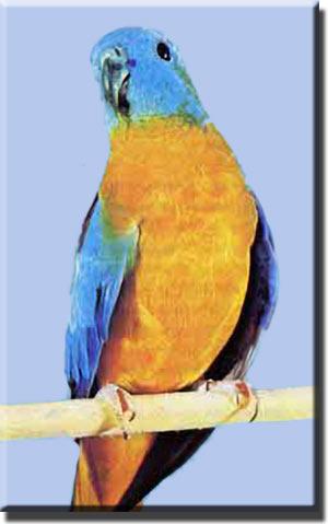 Лазурный травяной попугайчик (самец)
