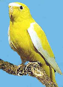 Элегантный травяной попугайчик