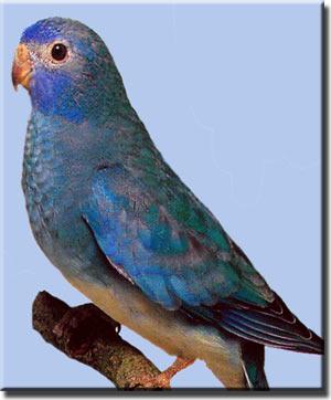 Глянцевый, или красногрудый травяной попугайчик