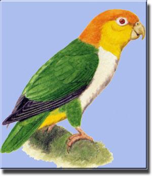 Белобрюхий, желтошапочный или рыжеголовый попугай