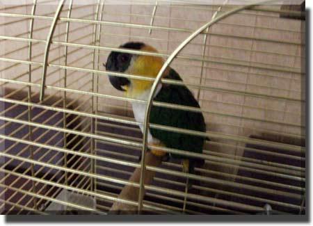 Белобрюхий черношапочный попугай