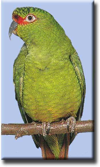 Чорой или тонкоклювый попугай