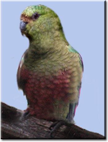 Изумрудный попугай
