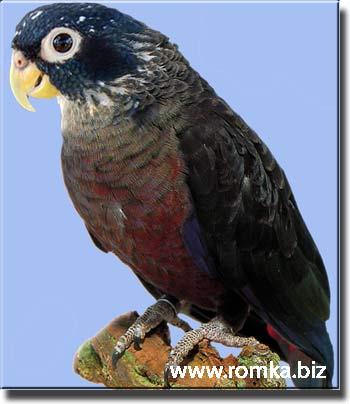 Краснохвостый попугай (фиалковый)