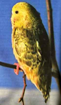 Линька у  волнистого попугайчика