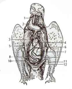 Внутреннее строение попугая